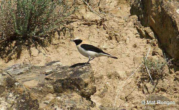 Black-eared_Wheatear.JPG